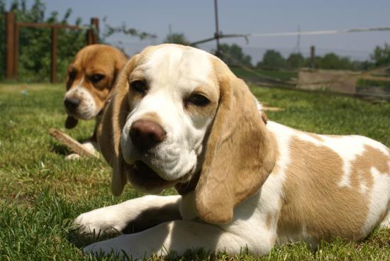 dur dur la vie de beagle