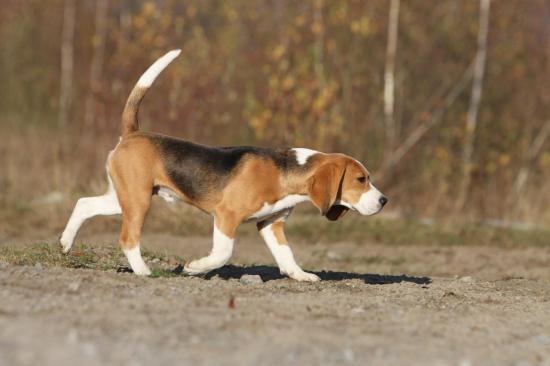 beagle-071.jpg