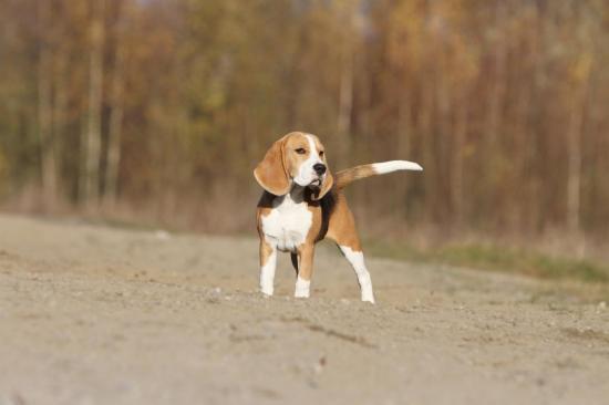 beagle-089.jpg