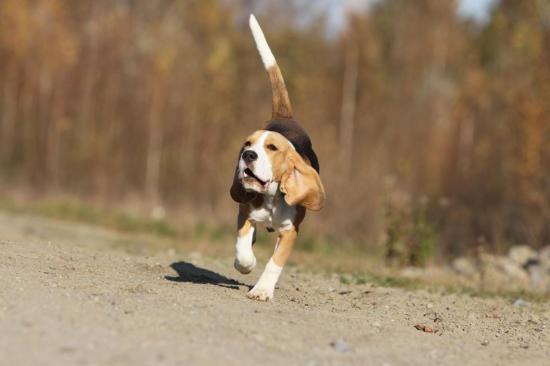 beagle-102.jpg