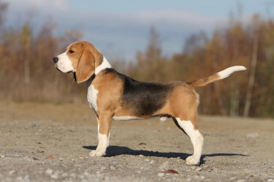 beagle-124.jpg