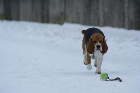 l'air pataud du beagle